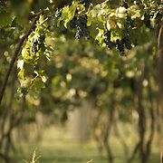 Grover vineyards at Nandi Hills outside of Bangalore, India. Grover Vineyards is one of the most respected and reviewed wineries emerging in India.