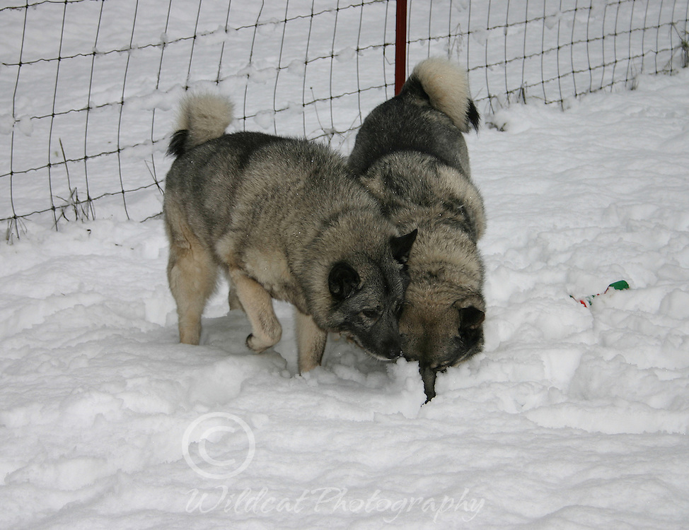 Norwegian elkhounds Holly and Bear--could be something in there