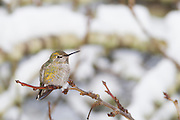 A female Anna's Hummingbird (Calypte anna) rests on a branch in a snow-covered tree after a winter storm in Snohomish County, Washington.