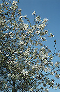 Star Magnolia Magnolia stellata (Magnoliaceae) HEIGHT to 9m. Usually forms a much-branched bush rather than a tree. The leaves are narrowly oval the flowers comprise numerous white tepals, arranged in a star-like fashion. Native of Japan and widely planted here.