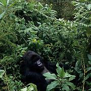 Mountain Gorilla, (Gorilla gorilla beringei) Male silverback in Volcanoes National Park. Rwanda. Africa.