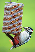 Lesser Spotted Woodpecker, Dendrocopus minor,  feeding on peanuts in hanging birdfeeder and clinging on with claws, UK