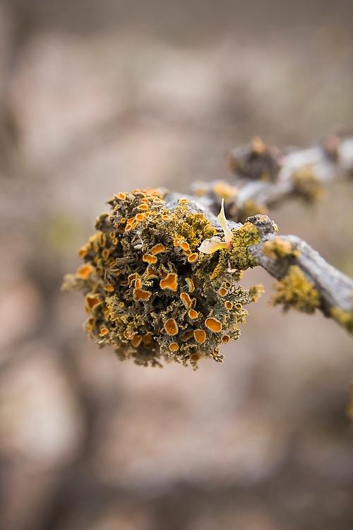 Orange cup lichen (Teloschistes chrysophthalmus) grows on a branch in the Sierra de San Francisco, Baja California Sur, Mexico on January 27, 2009.