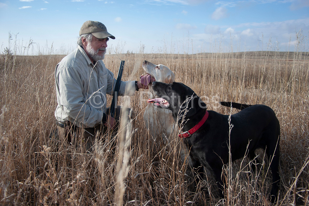 Experienced hunter John Davidson caring for his two retrieving gun dogs after hunting a slough in the North Dakotan landscape near Minot, North Dakota, United States. Black lab Annie and Labrador Chester are trained retrievers on this occasion hunting upland game birds. These working dogs work extremely hard both retrieving birds such as pheasant or grouse once shot, but also flushing birds out from the undergrowth.
