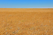 Lentils. Yellow<br /> Swift Current<br /> Saskatchewan<br /> Canada