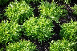Endive 'Aery F1'. Cichorium endivia