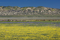 Carrizo Plains National Monument, California. Yellow Goldfields (Lasthenia sp.) carpeting the plains near Soda Lake