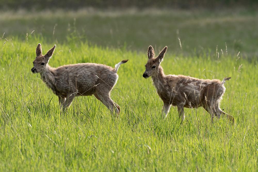 Young mule deer, Iwetemlaykin State Heritage Site, Wallowa Valley, Oregon.