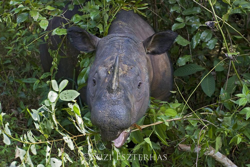 Sumatran Rhinoceros <br /> Dicerorhinus sumatrensis<br /> Browsing <br /> Sumatran Rhino Sanctuary, Way Kambas National Park, Indonesia<br /> *Critically Endangered<br /> *Captive
