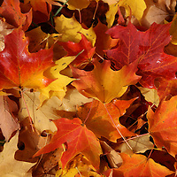 """""""Those Magical Leaves"""" <br /> <br /> Beautiful and colorful fall leaves! Maple leaves of red, orange, yellow, and gold!"""