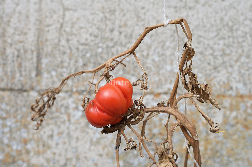 over ripe tomato on a dried up and broken vine
