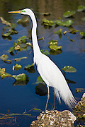 Great White Egret, Ardea alba, also known as the Great Egret or Common Egret in the Everglades, Florida, USA