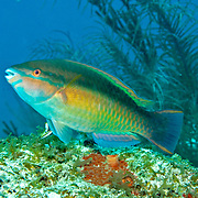 Princess Parrotfish swim about reefs and adjacent areas scrapping filamenmtous algae from hard substrates in  Tropical West Atlantic; picture taken Little Cayman.