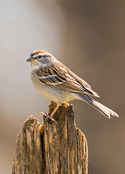 A Chipping Sparrow on top of an old tree stump