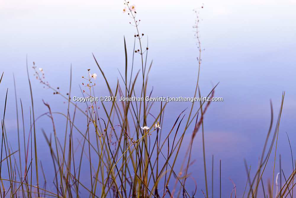 Wildflowers on the edge of Pine Glades Lake in Everglades National Park, Florida. WATERMARKS WILL NOT APPEAR ON PRINTS OR LICENSED IMAGES.