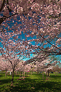 Sea of cherry blossoms under a blue sky, Washington, DC