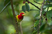 Red-headed Barbet (Eubucco bourcierii) Male<br /> Mindo<br /> Cloud Forest<br /> West slope of Andes<br /> ECUADOR.  South America<br /> HABITAT & RANGE: Humid highland forest in Costa Rica and Panama, as well as the Andes in western Venezuela, Colombia, Ecuador and far northern Peru.
