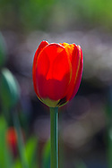 Sunlight on a Tulip flower at Queen Elizabeth Park in Vancouver, British Columbia, Canada
