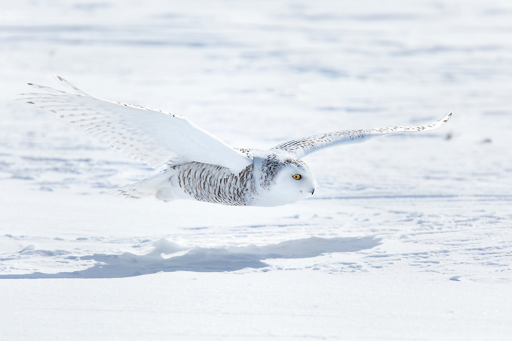 """Snowy owl glides over the frozen landscape.<br /> <br /> Available sizes:<br /> 18"""" x 12"""" print <br /> 18"""" x 12"""" canvas gallery wrap <br /> <br /> See Pricing page for more information. Please contact me for custom sizes and print options including canvas wraps, metal prints, assorted paper options, etc. <br /> <br /> I enjoy working with buyers to help them with all their home and commercial wall art needs."""