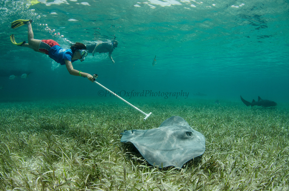 Caribbean Whiptail Ray (Himantura schmardae) monitoring & Cecilia guerrera<br /> Shark Ray Alley<br /> Hol Chan Marine Reserve<br /> near Ambergris Caye and Caye Caulker<br /> Belize<br /> Central America