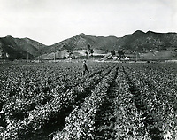 1903 Sweet pea field in Hollywood. Nichols Canyon at left