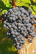 Petit Verdot grape bunches and vines - a very old vine - Château Pey la Tour, previously Clos de la Tour or de Latour, Bordeaux, France