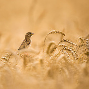 Female House Sparrow (Passer domesticus) in a wheat field. Israel Spring May