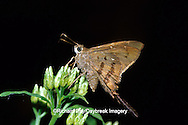 03573-00113 Brown Longtail butterfly (Urbanus procne) on Crucita Mistflower (Eupatorium odoratum)  Santa Ana National Wildlife Refuge Hidalgo Co.  TX