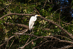 Great egret in tree photographed from kayak on Trinity River near downtown Fort WOrth and the Trinity Trails, Fort Worth, Texas, USA.
