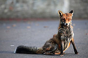 Red fox in an Urban Environment in Bristol in late afternoon. It looks like tis fox has been in some sort of fight as he has scars on his chest.