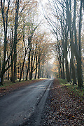 Road passing by brown beech tree autumn leaves through Savernake Forest, Wiltshire, England, UK