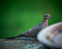 Mourning Dove. Image taken with a Nikon D4 camera and 600 mm f/4 VR lens.