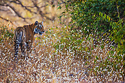 Wild Bengal tiger walking through the forest in wild flowers, Ranthambore National Park, Rajasthan, India