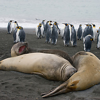 Southern Elephant Seals relax on a beach near a King Penguin rookery at Gold Harbor, South Georgia, Antarctica.