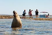 Sea Lion at Baird Bay, Eyre Peninsula, South Australia, Australia