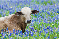 Cow in bluebonnets, Texas Hill Country, USA.
