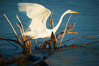 Great Egret Taking Off at Ft. Desoto Park in St. Petersburg, Florida. Image taken with a Nikon D3s and 70-300 mm VR lens (ISO 200, 300 mm, f/5.6, 1/1000 sec).