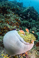 Pink Anemonefish family at home in their balled-up Anemone on a colorful reef slope<br /> <br /> Shot in Raja Ampat Marine Protected Area West Papua Province, Indonesia