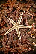 Pile of sugar starfish (Asterias rubens) on Isle of Palms beach near Charleston, SC.