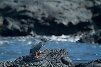 Lava Heron in the Galapagos Islands, Ecuador.