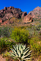 Century plant (agave), Chisos Mountains, Big Bend National Park, Texas USA.