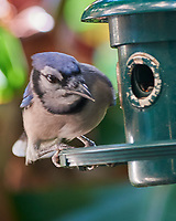 Blue Jay (Cyanocitta cristata). Images taken with a Nikon D810A camera and 80-400 mm VRII lens.