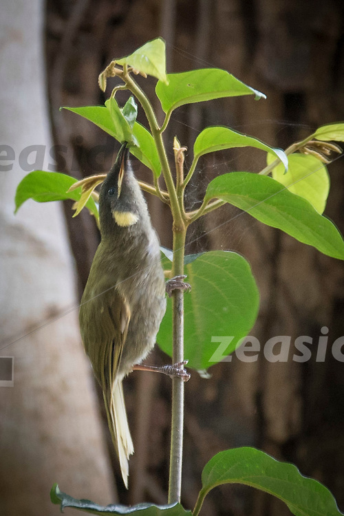 The yellow spotted or graceful Honey Eater, seen in Springbrook National Park, Australia.