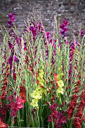 Gladiolus i.d to follow