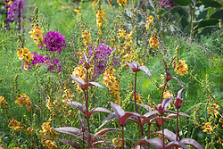 Verbascum 'Clementine' with Penstemon 'Husker Red' and Foeniculum vulgare (green fennel)