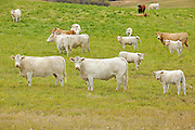 Cattle. Charolais<br /> Melville<br /> Saskatchewan<br /> Canada