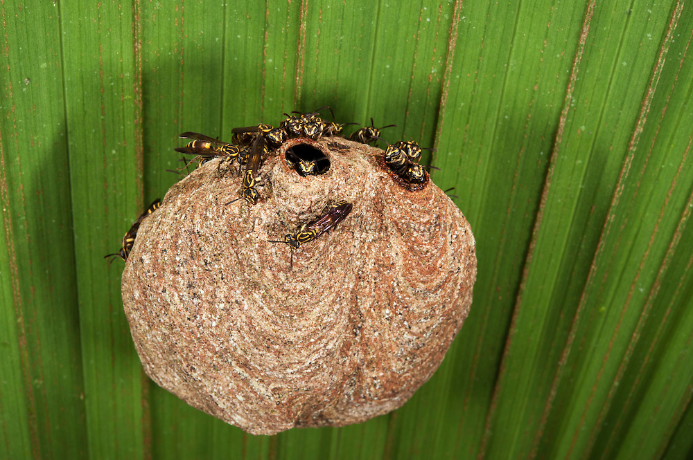 Aerial Yellowjackets at paper nest (Vespinae) (Hymenoptera)<br /> Yasuni National Park, Amazon Rainforest<br /> ECUADOR. South America<br /> HABITAT & RANGE: