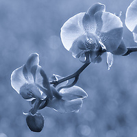 """""""Sun Drenched Orchids"""" Blue"""