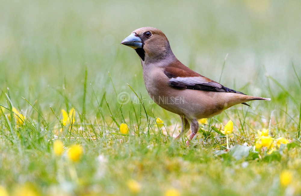 Hawfinch (Coccothraustes coccothraustes, female) from Hidra, south-western Norway in May.