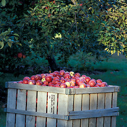 Bolton, MA.  USA.  A crate of apples at the Nicewicz Farm in Massachusetts' Nashoba Valley.